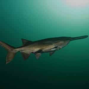 Fossil records of paddlefish date back over 300 million years.