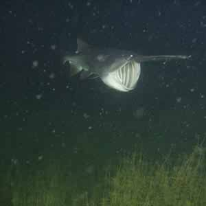 Paddlefish feed by opening their large mouths and swimming through swarms of zooplankton.